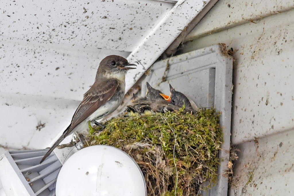 """<div class=""""jaDesc""""> <h4>Mother Phoebe Arrives at Nest - June 7, 2017</h4> <p>Mother Phoebe arrives at the nest on our porch flood light to feed the 3 chicks.  They flick their beaks a lot when building the nest; that is why all the splatter marks are on the wall and ceiling.</p> </div>"""