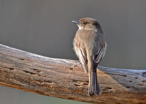 """<div class=""""jaDesc""""> <h4>Phoebe - 1st of Year - April 16, 2010 </h4> <p> The Phoebes are finally coming in close enough to get some photos.  They have discovered the mealworm box and are taking their share of mealworms.  Last night I saw the female sitting on the nest in our garage, so she must have started laying eggs.  They are always the earliest nesters.</p> </div>"""