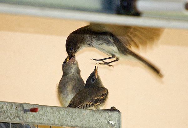 "<div class=""jaDesc""> <h4>Phoebe Hovering to Feed Chicks - June 7, 2008 </h4> <p>One of the Phoebe parents flew into the garage and hovered above the newly fledged chicks to feed them.</p> </div>"