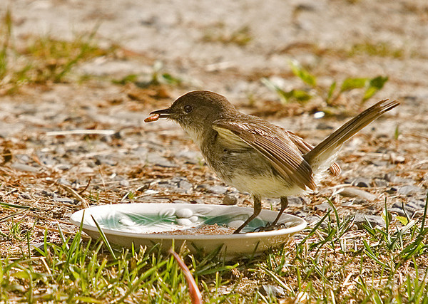 """<div class=""""jaDesc""""> <h4>Phoebe Collecting Mealworms - May 29, 2008</h4> <p> To help mom Phoebe out a bit, I put a small dish with mealworms on it just outside the garage.  She went for them immediately as if to say thanks for helping out.</p> </div>"""