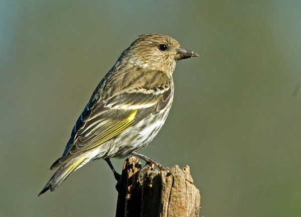 """<div class=""""jaDesc""""> <h4>Pine Siskin Close-up - May 11, 2009</h4> <p>This is one of the 40 Pine Siskins that look like they might spend the summer here.  I love to watch them bathe in our water garden stream.</p> </div>"""