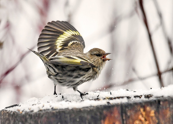 """<div class=""""jaDesc""""> <h4>Pine Siskin - This is My Space - April 8, 2018</h4> <p>Another Pine Siskin was getting too close and got a stern warning.</p> </div>"""