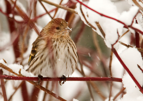 """<div class=""""jaDesc""""> <h4>Male Pine Siskin in Red-twig Dogwood - January 15, 2012 </h4> <p> About once a week a pair of Pine Siskins visit our yard. I am not sure why their presence is so irregular, but it is always nice to see them stop by.</p> </div>"""