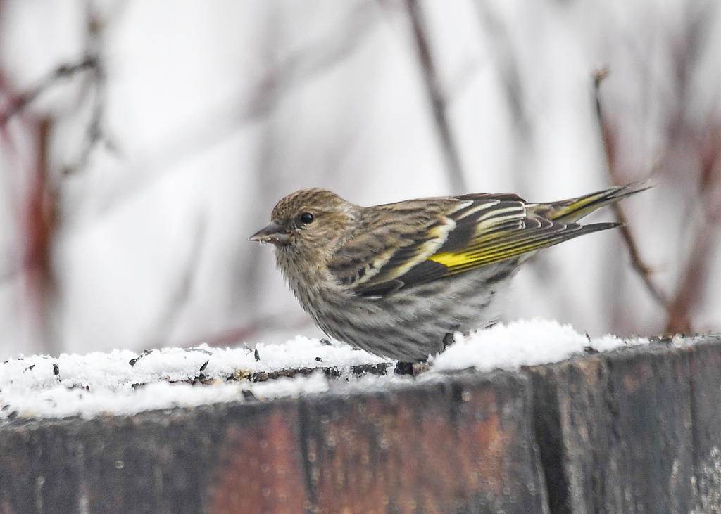 "<div class=""jaDesc""> <h4>Pine Siskin After a Snow - April 8, 2018</h4> <p>The same 12 Pine Siskins  that visited in January were back after an April snow.  This male with the bright yellow wing bars was chowing down on the niger seed I put out every day.</p> </div>"