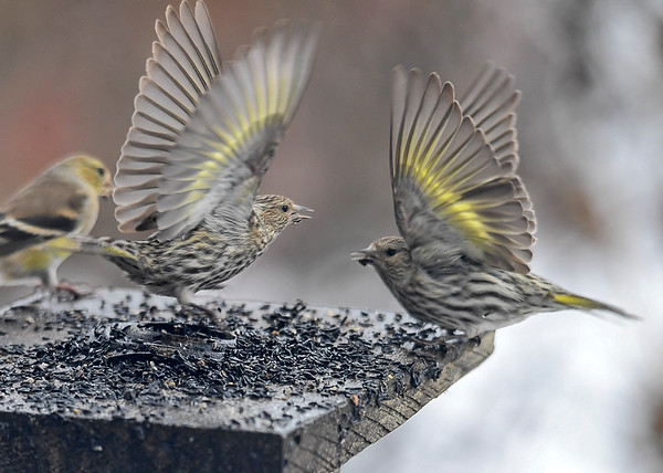 """<div class=""""jaDesc""""> <h4>Pine Siskin Pair - Wings Up - April 7, 2018</h4> <p>They can be calmly feeding right next to each other and all of a sudden the wings fly up.  The female on the left (slightly paler yellow) wins, hers are higher.</p> </div>"""