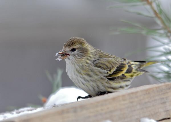 "<div class=""jaDesc""> <h4>Pine Siskin Needs a Beak Wipe - February 19, 2015 </h4> <p>When the Pine Siskins eat black-oiled sunflower seeds, they get the shell debris all over their beaks.</p> </div>"