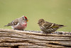 """<div class=""""jaDesc""""> <h4>Pine Siskin & Common Redpoll - April 7, 2009</h4> <p>This was a very rare opportunity to catch a Common Redpoll and Pine Siskin on the same perch.  As you can see they were content to eat very close together.</p> </div>"""
