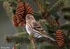"<div class=""jaDesc""> <h4>Pine Siskin in Spruce Tree</h4> </div>"