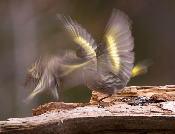 """<div class=""""jaDesc""""> <h4>Pine Siskin Tussle - April 1, 2009</h4> <p>The Pine Siskins are very particular about their personal space.  I sort of caught this action between 2 males who got a bit too close for comfort.</p> </div>"""