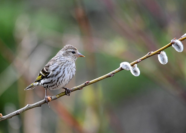 "<div class=""jaDesc""> <h4>Pine Siskin on Pussy Willow - May 11, 2018</h4> <p>We still have 6 Pine Siskins hanging out with our 24 Goldfinches.</p> </div>"