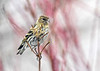 "<div class=""jaDesc""> <h4>Pine Siskin Posing - April 7, 2018</h4> <p>I could not have asked for a nicer pose than she gave me here.</p> </div>"