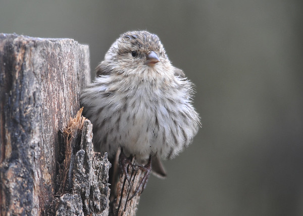 """<div class=""""jaDesc""""> <h4>Pine Siskin Fluffed - May 14, 2016</h4> <p>This Pine Siskin was trying her best to stay warm on a chilly spring morning.  The 30 we had over the winter are down to four as the others have headed back north.</p> </div>"""