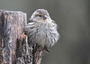 "<div class=""jaDesc""> <h4>Pine Siskin Fluffed - May 14, 2016</h4> <p>This Pine Siskin was trying her best to stay warm on a chilly spring morning.  The 30 we had over the winter are down to four as the others have headed back north.</p> </div>"