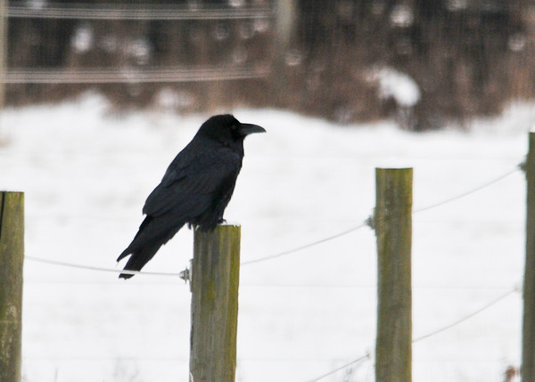 "<div class=""jaDesc""> <h4> Raven on Fence Post - December 27, 2012 </h4> <p> We have had a pair of Ravens fly over our house almost daily for the past month.  Today they landed in our lower horse pasture - one on a fence post and the other on the ground nearby.  This was a very long range shot.  Hopefully they will stop in again soon.</p> </div>"