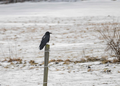 """<div class=""""jaDesc""""> <h4> Raven on Fence Post - January 11, 2017 </h4> <p> A pair of Ravens hung out together in our horse pastures looking for food.  They would pick through the horse droppings for undigested seeds.  They usually just fly by overhead, making their gravelly caw sound.</p> </div>"""