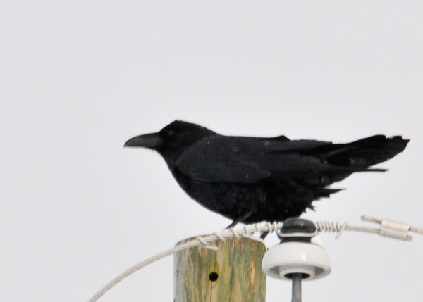 """<div class=""""jaDesc""""> <h4> Female Raven on Utility Pole - December 30, 2012 </h4> <p> I was pleasantly surprised to see the female Raven had returned to our yard after only 3 days.  She was perched on top of the utility pole in front of our house.</p> </div>"""