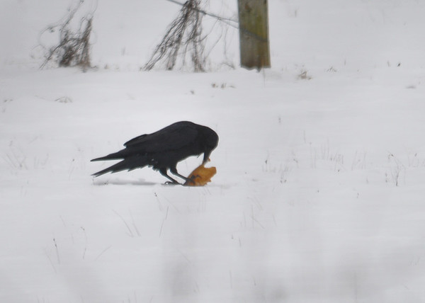"<div class=""jaDesc""> <h4>Raven Nibbles Then Hides Tortilla - January 19, 2015 - Video Attached</h4> <p>The Ravens would play with their Tortillas, take bites of them, fly them from one spot to another, and then hide them in the snow.  Video shows the last two steps.  She poked a hole in the snow.  When the tortilla did not quite fit, she set it aside, dug deeper and then shoved it back in. </p>  </div> <center> <a href=""http://www.youtube.com/watch?v=vKYIBGnqylM"" style=""color: #0AC216"" class=""lightbox""><strong> Play Video</strong></a> </center>"