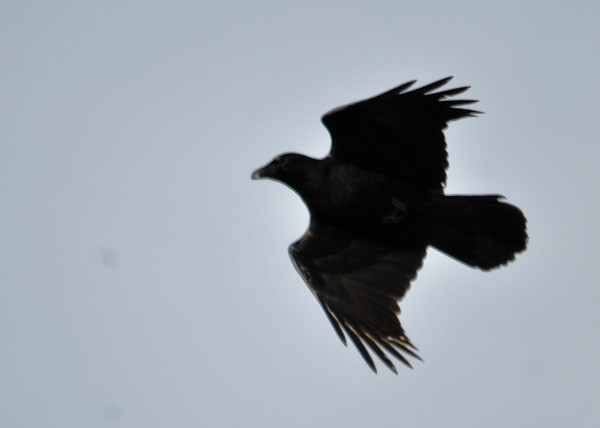 """<div class=""""jaDesc""""> <h4> Raven Slowing Down - November 25, 2014 </h4> <p> One of the two Ravens was slowing down with wings slightly tucked to let the other catch up.  Notice the rounded wedge shaped tail which is a characteristic that distinguishes Ravens from Crows who have a straight back edge to their tail.  </p> </div>"""