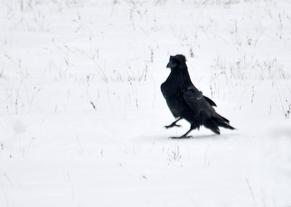 "<div class=""jaDesc""> <h4>Raven Strutting - January 19, 2015 - Video Attached</h4> <p> It is fun to watch the Ravens strutting around in the snow.  Mostly they stay on top, but their claws drop in periodically. </p>  </div> <center> <a href=""http://www.youtube.com/watch?v=Ff6yhL0O-0Q"" style=""color: #0AC216"" class=""lightbox""><strong> Play Video</strong></a> </center>"