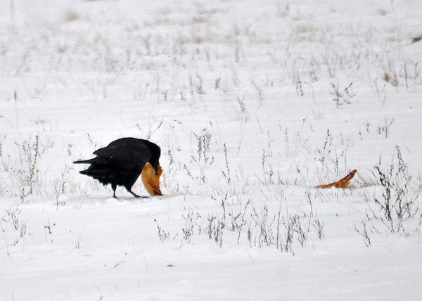 """<div class=""""jaDesc""""> <h4> Raven - Munch Munch - January 19, 2015 </h4> <p> The Raven was having a bit of difficulty cracking off a chunk of the fried tortilla.  A second tortilla sits waiting for attention.</p> </div>"""