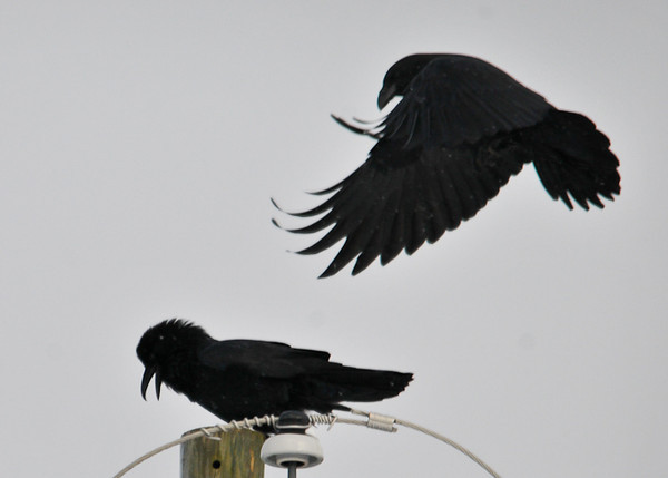 """<div class=""""jaDesc""""> <h4> Male Raven Arriving - December 30, 2012 </h4> <p>The female Raven started making a loud croaking call.  Apparently she was calling the male who arrived to perch with her.  A male Ravens is larger than the female.</p> </div>"""