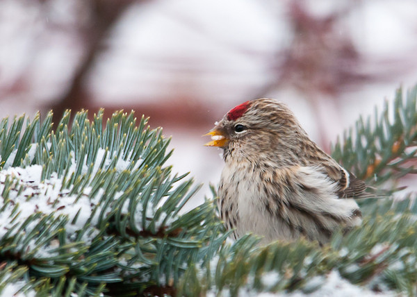 """<div class=""""jaDesc""""> <h4> Adult Female Redpoll Eating Millet Seed - February 2, 2013 </h4> <p>I sprinkle white millet seed on spruce branches used for Christmas decoration.  Normally only the Juncos and Tree Sparrows eat the millet, but this Adult female Redpoll was enjoying one too.  Adult female has bright red patch on the poll and no rosy red on her breast like the adult male.</p> </div>"""