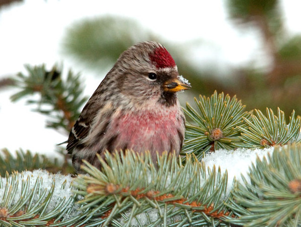 """<div class=""""jaDesc""""> <h4> Male Common Redpoll in Red Pine </h4> <p></p> </div>"""