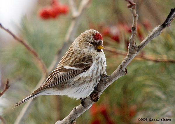 "<div class=""jaDesc""> <h4> Female Common Redpoll in Cranberry Bush </h4> <p></p> </div>"