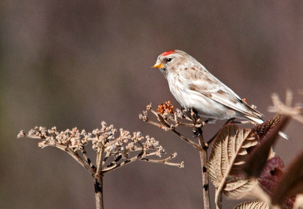 "<div class=""jaDesc""> <h4>Hoary Redpoll on Viburnum - February 20, 2011 </h4> <p> The Common Redpoll flock is down to about 15 now as the weather slowly warms up. Our one Hoary Redpoll that was in the flock of 50 Commons has moved on. It was nice having her here for about 5 weeks.</p> </div>"