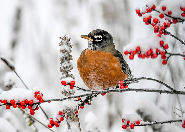 """<div class=""""jaDesc""""> <h4>Robins Stops by During Snow Storm - November 8, 2019</h4> <p>A pair of Robins were feeding on Winterberries to help stay warm.</p> </div>"""