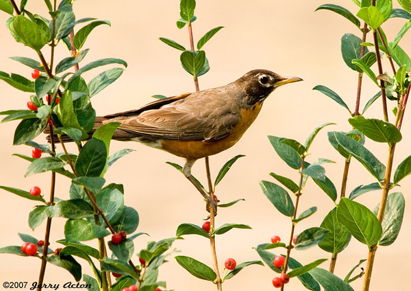 """<div class=""""jaDesc""""> <h4> Robin in Rosebush - July 15, 2007 </h4> <p>Robins enjoy all the berry bushes in our yard, particularly the honeysuckle bushes.</p> </div>"""