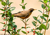 "<div class=""jaDesc""> <h4> Robin in Rosebush - July 15, 2007 </h4> <p>Robins enjoy all the berry bushes in our yard, particularly the honeysuckle bushes.</p> </div>"