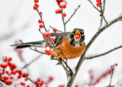 Second Robin Tosses Winterberry Into Throat - November 8, 2019