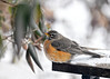 "<div class=""jaDesc""> <h4>Robin Resting During Snow Storm - March 11, 2017</h4> <p>This Robin found a quiet perch spot under our viburnum bush to get a breather from the driving wind and snow.</p> </div>"