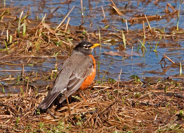"""<div class=""""jaDesc""""> <h4> Robin Ready for a Drink - March 27, 2011 </h4> <p>A pair of Robins were looking for worms in a field flooded by the rapid snow melt. This one stopped briefly to get a drink.</p> </div>"""