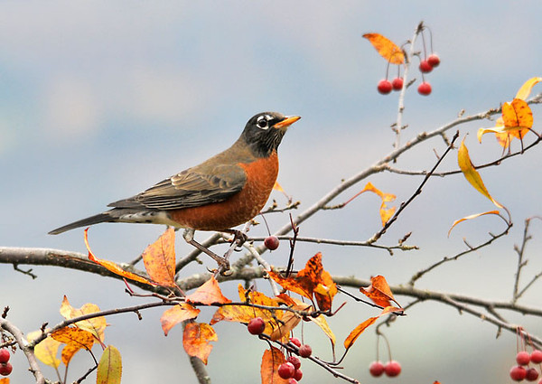 """<div class=""""jaDesc""""> <h4> Robin Among Crabapples - October 24, 2010 </h4> <p>Four Robins landed in our crabapple tree this afternoon looking for a snack. They could not quite reach the crabapples from the branches they were on, but I am sure they will soon figure out how.</p> </div>"""