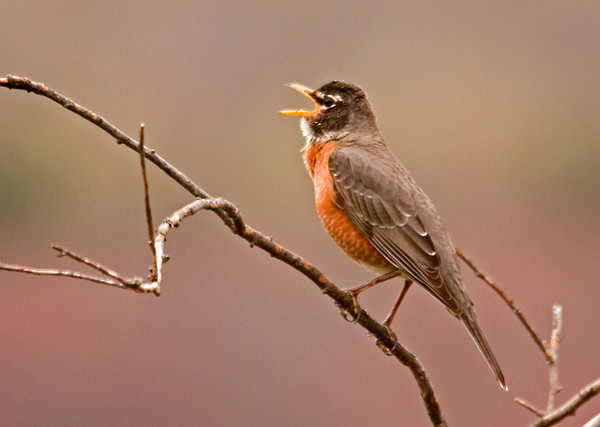 """<div class=""""jaDesc""""> <h4> Robin Singing - March 26, 2012 </h4> <p>We have at least a dozen Robins around our backyard and pastures. The males are singing vigorously to impress the females. Then there are the high speed chases - multiple males chasing a female. The pairing will all get sorted out over the next few weeks, then nest building will begin in earnest.</p> </div>"""
