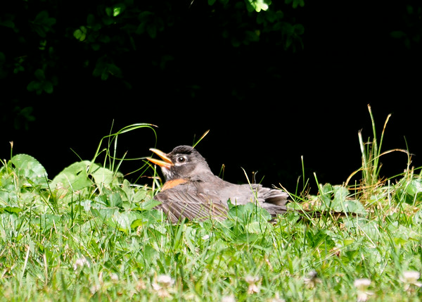 """<div class=""""jaDesc""""> <h4> Robin Sunbathing - July 6, 2014 </h4> <p>This Robin decided to sunbath in the high grass.  He spread his wing and snuggled down.</p> </div>"""