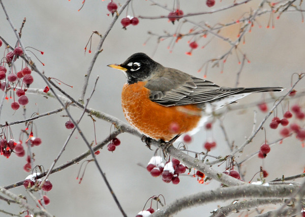 "<div class=""jaDesc""> <h4> Robin Feasting on Crabapples - November 27, 2013 </h4> <p> Once the cold weather settled in, a pair of Robins discovered our crabapple trees and are dining all day long..</p> </div>"