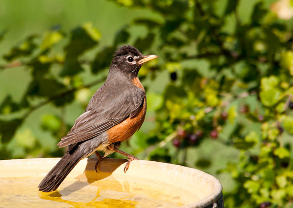 """<div class=""""jaDesc""""> <h4> Robin Ready for Bath - July 9, 2012</h4> <p> This gal had been waiting her turn for the bird bath.  Two Catbirds went first, a Blue Jay was next, and then she got her turn.</p> </div>"""