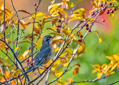 "<div class=""jaDesc""> <h4>Robin in Crabapple Tree - October 18, 2016</h4> <p>Our crabapple trees provide a good food source for migrating Robins.  This Robin ate 4 of them on this stop.</p> </div>"