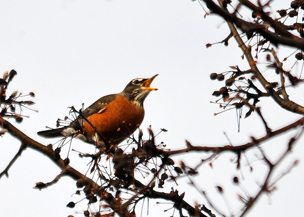 "<div class=""jaDesc""> <h4> Robin Swallowing Fruit - December 16, 2014 </h4> <p></p> </div>"