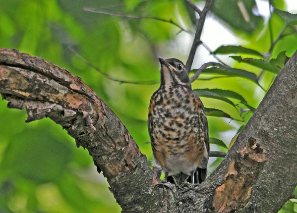 """<div class=""""jaDesc""""> <h4> Juvenile Robin in Tree - July 7, 2014</h4> <p> This is one of two juvenile Robins in my brother-in-law's backyard.  This one was calling to the parents to feed it.  One of the adult Robins brought it a worm.</p> </div>"""