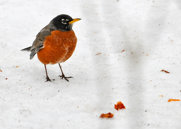 """<div class=""""jaDesc""""> <h4> Robin in Snow - February 23, 2014 </h4> <p> This is one of about 50 Robins that were devouring apples that were still on the trees in a grove along the road in rural Tioga County, NY.  He was cleaning up some of the pieces that were dropping onto the snow under the trees.  So the Robins must know spring is coming soon, as they are already migrating North.</p> </div>"""