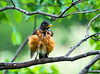 """<div class=""""jaDesc""""> <h4>Robin Drying and Grooming - May 16, 2015 </h4> <p>The final step of a bath is to find a nice perch for drying and body grooming to get all the feathers sleek and smooth.</p> </div>"""