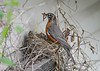 """<div class=""""jaDesc""""> <h4>Robin Feeding Chicks - June 3, 2019</h4> <p>Mother Robin arrives with a beak full of worms for the chicks.</p> </div>"""