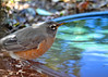 "<div class=""jaDesc""> <h4>Robin Getting a Drink - November 4, 2016</h4> <p>I have two ground level bird baths under the bushes where the birds feed.  They have nice cover while they get a drink.</p> </div>"