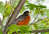 "<div class=""jaDesc""> <h4> Robin Resting in Tree - May 21, 2011 </h4> <p>This Robin hopped around a grassy area and plucked several worms for lunch. Then she flew to this maple tree for a rest.</p> </div>"