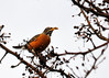 "<div class=""jaDesc""> <h4> Robin Grabs Breakfast Snack - December 16, 2014 </h4> <p>As I was leaving my daughter's neighborhood in Virginia Beach, I noticed a large flock of Robins flying around.  They were eating breakfast, selecting from thousands of small fruit in huge trees.</p> </div>"