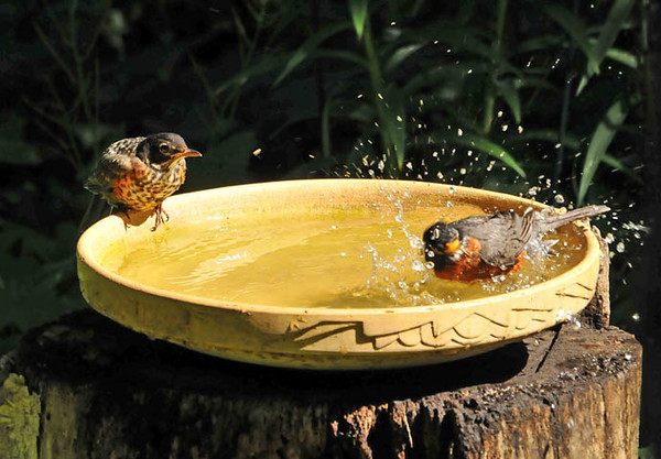 """<div class=""""jaDesc""""> <h4>Mother Robin with Juvenile at Bird Bath - June 22, 2010 </h4> <p> The adult Robins were taking baths on a hot day.  A juvenile Robin came over to observe and learn how it's done.</p> </div>"""